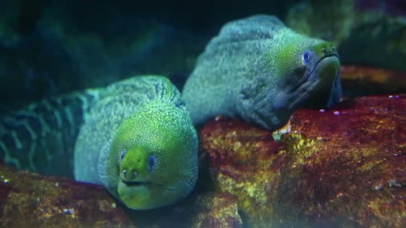 Thumbnail for Two Large Moray Underwater Closeup 2