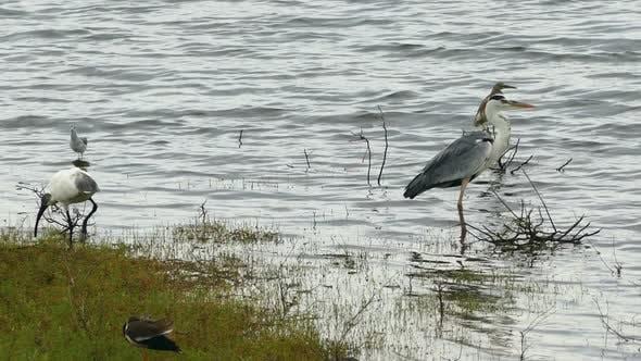 Thumbnail for Wild Birds On The Lake
