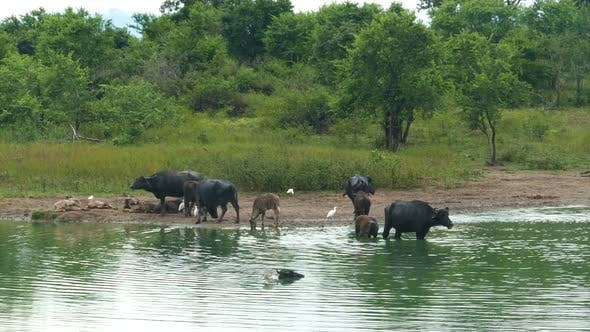Thumbnail for Wild Buffalo Bathing In The Lake In Sri Lanka 1