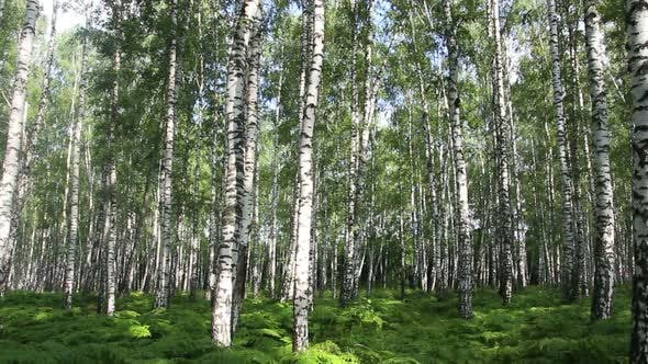 Thumbnail for Summer Birch Forest In Russia 1