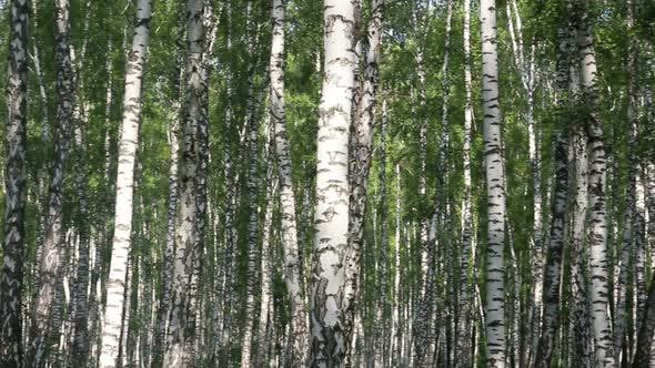 Thumbnail for Summer Birch Forest In Russia 2