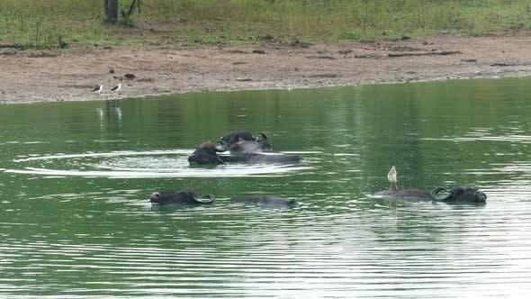 Thumbnail for Wild Buffalo Bathing In The Lake In Sri Lanka 2
