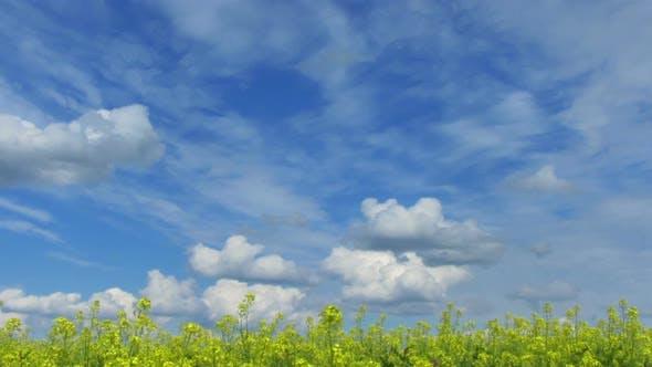 Thumbnail for Beautiful Flowering Rapeseed Field Under Blue Sky - Pan 2