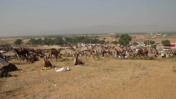 Thumbnail for Camels During Pushkar Camel Fair 2