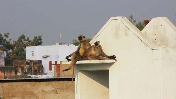 Thumbnail for Entellus Monkeys On Building Top In Pushkar India 1