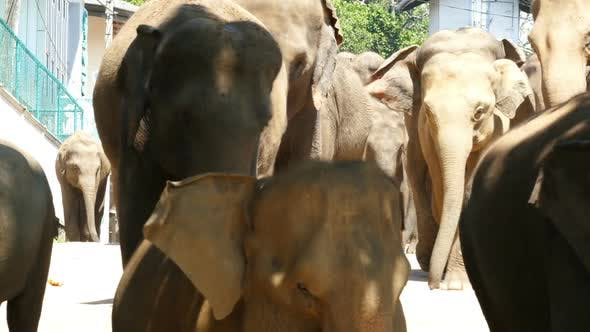 Thumbnail for Elephants Walking Down The Street In Sri Lanka