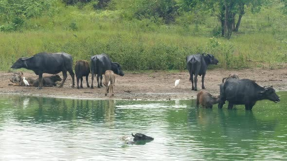 Thumbnail for Many Wild Buffalo Bathing In The Lake In Sri Lanka 1