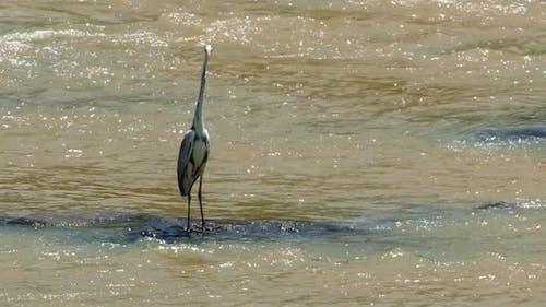 Reiher Vogel steht auf dem Fluss wartet auf Beute