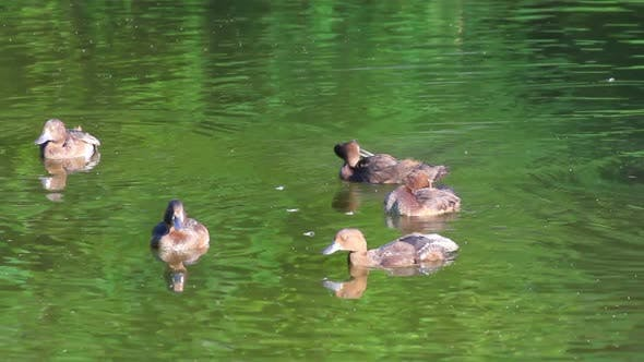 Thumbnail for Young Ducks On Pond 1