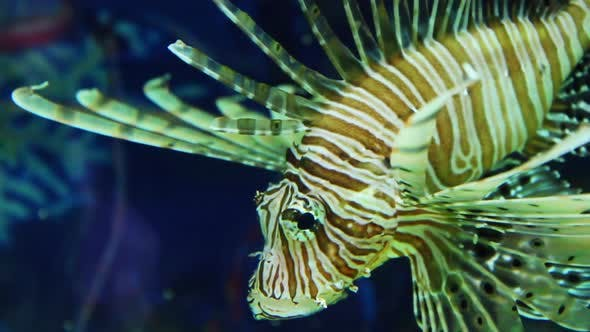 Thumbnail for Lionfish Zebrafish Underwater 1