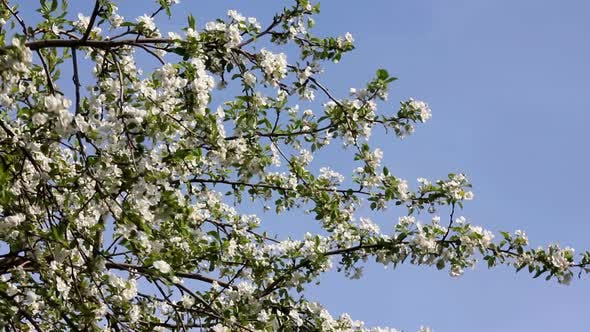 Thumbnail for Blossom Apple Tree Branches