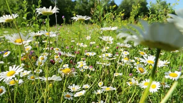 Thumbnail for Walking Through A Blossoming Meadow  Daisies 1