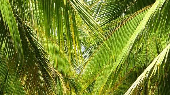 Thumbnail for Coconut Palm Leaves