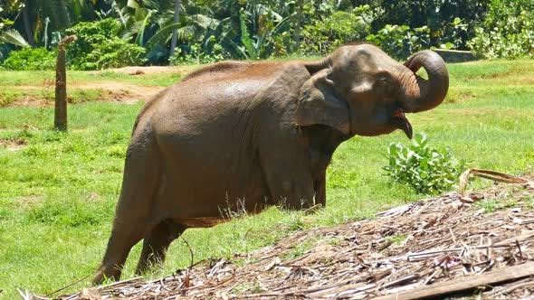 Thumbnail for Elephant At The Pinnawala Elephant Orphanage In Sri Lanka 1