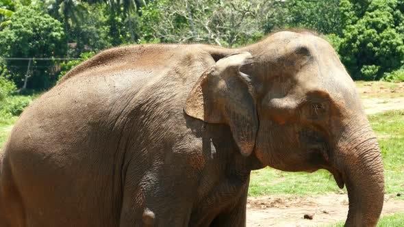 Thumbnail for Elephant At The Pinnawala Elephant Orphanage In Sri Lanka 3
