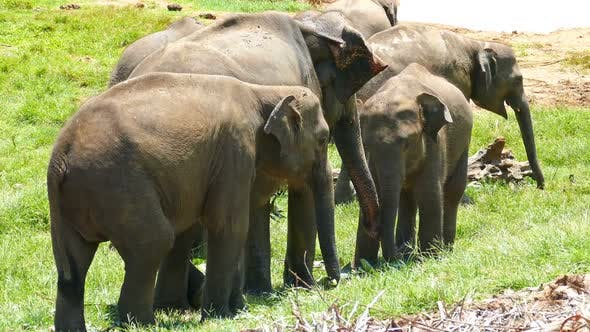 Thumbnail for Elephants At The Pinnawala Elephant Orphanage In Sri Lanka 2