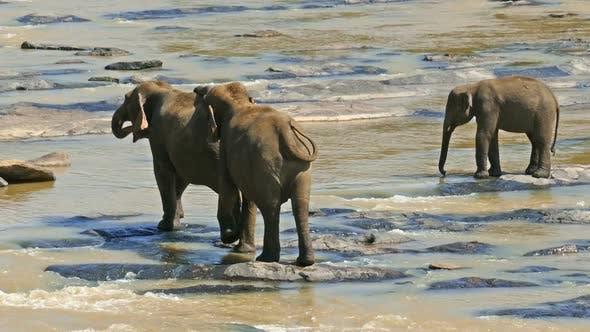 Thumbnail for Elephants In The River - Sri Lanka 16
