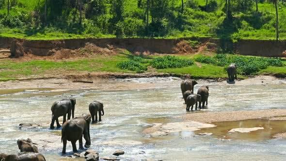 Thumbnail for Elephants In The River - Sri Lanka 3