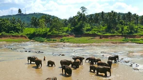Thumbnail for Elephants In The River At The Pinnawala Elephant Orphanage - Sri Lanka