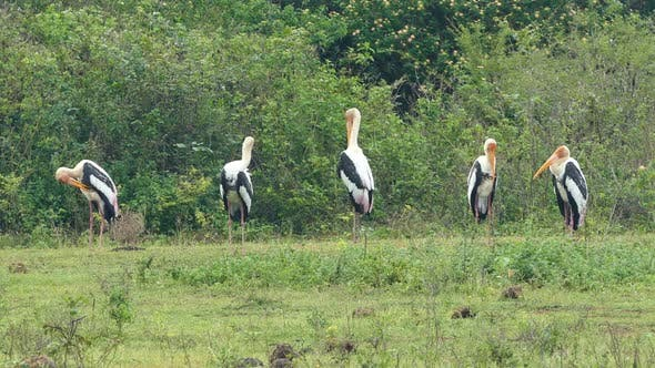 Cover Image for Painted Stork (Mycteria Leucocephala) Birds In Sri Lanka 2