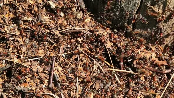 Ants Crawling On Anthill In The Woods -