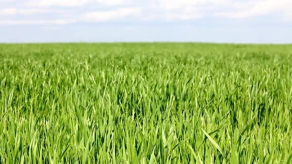 Thumbnail for Green Field  Wheat Under Blue Sky 2
