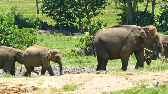 Thumbnail for Group Of Elephants Walking In Sri Lanka 1