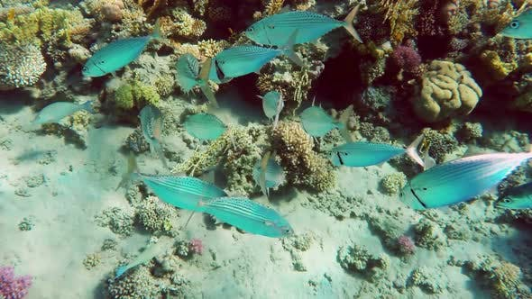 Thumbnail for School Of Indian Mackerel (Rastrelliger Kanagurta) Feeding In Red Sea, Egypt 1