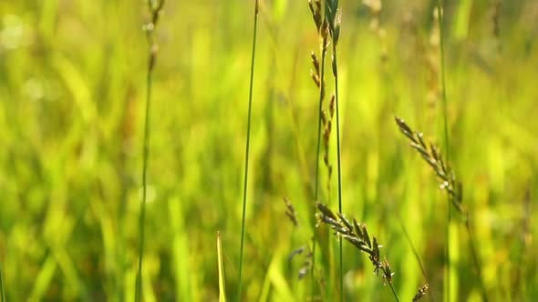 Thumbnail for Grass Closeup, Lit By The Setting Sun