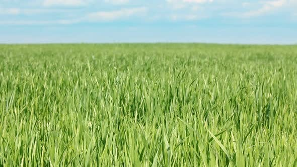 Thumbnail for Green Field  Wheat Under Blue Sky 1