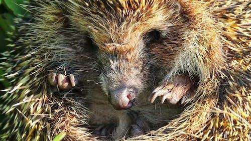 Hedgehog Curled Closeup