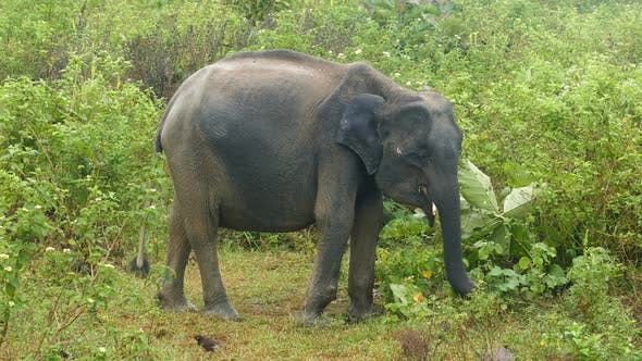 Thumbnail for Indian Elephant Eating Grass In Jungle 2