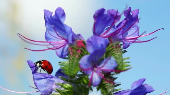 Ladybug On Blue Flower - Macro Shot