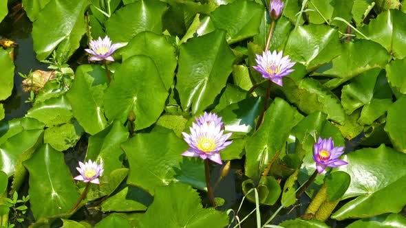 Thumbnail for Lake  Lotus Flowers 2