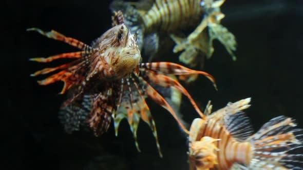 Thumbnail for Lionfish Zebrafish Underwater 3