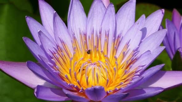 Thumbnail for Lotus Flower Closeup 2