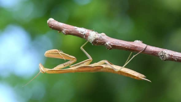Thumbnail for Mantis Is Sitting On Branch Of Tree - Macro Shot 2
