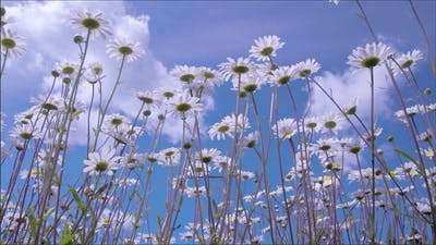 The Daisies Waving in the Breeze of the Wind