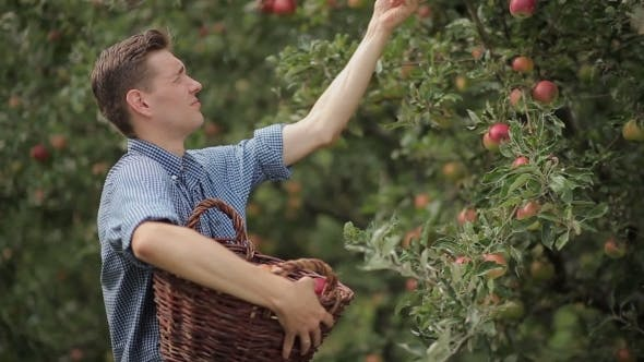 Thumbnail for Young Man Gathering Apples In The Garden