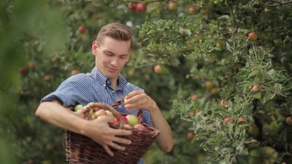 Cover Image for Handsome Man Gathering Apples In The Garden