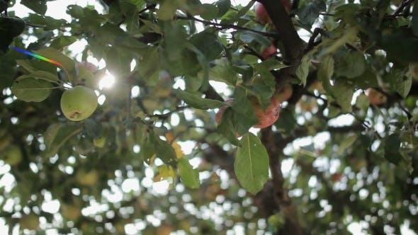 Thumbnail for Apple Garden