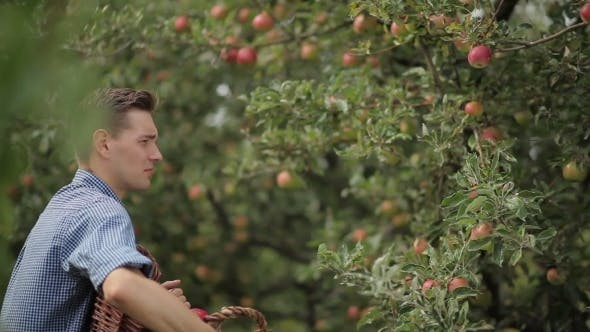 Cover Image for Young Man Gathering Apples In The Garden