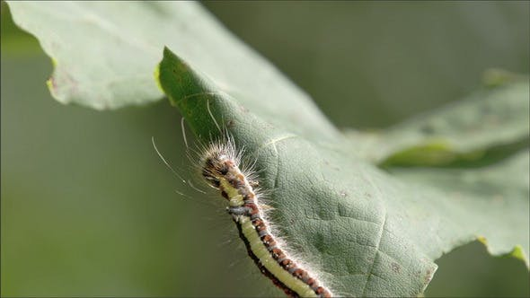 Thumbnail for A Caterpillar Crawling on the Leaf