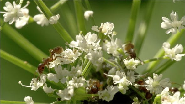 Thumbnail for Big Ants on the White Flowers