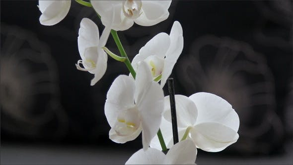 Thumbnail for White Orchid on the Orchard