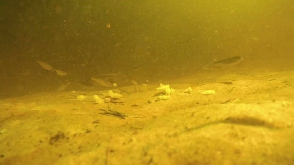 Thumbnail for A Lot Of Fish Under Water Eat Bread Bait On Bottom