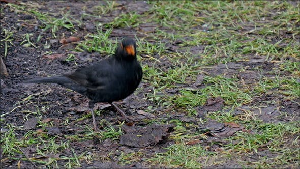 Thumbnail for A Common Black Bird on the Ground