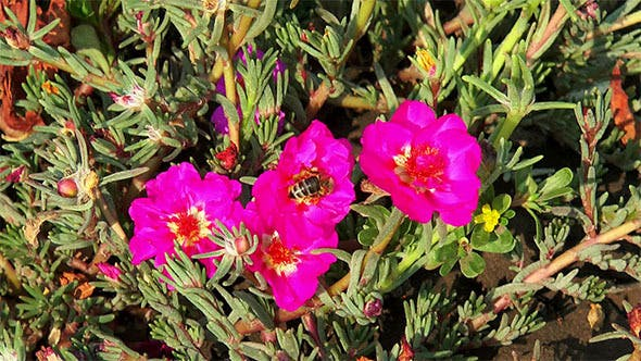 Thumbnail for Bees Collect Nectar on Red Flowers