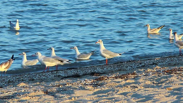 Thumbnail for Gulls on the Beach in Search of Food