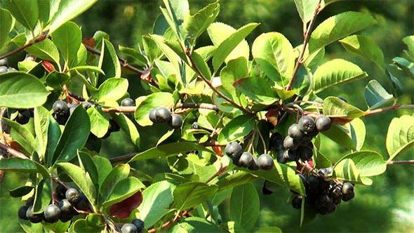 Thumbnail for Black Mountain Ash Berries